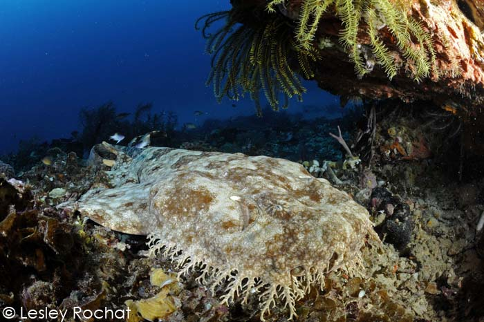 Lesley Rochat Photography - Wobbegong Shark