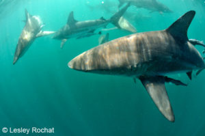 Lesley Rochat Photography - Blacktips