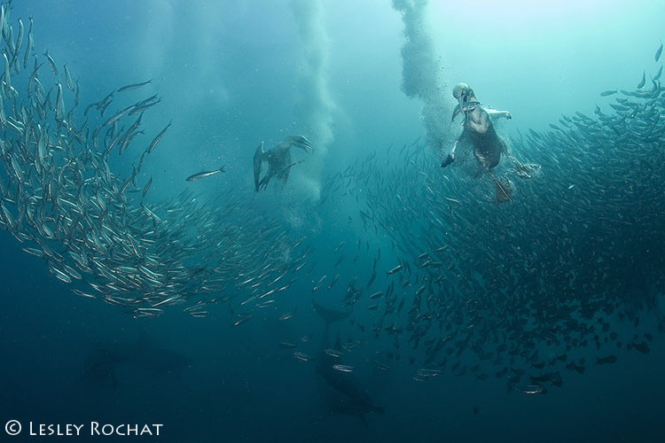 Lesley Rochat Photography - Sardine run