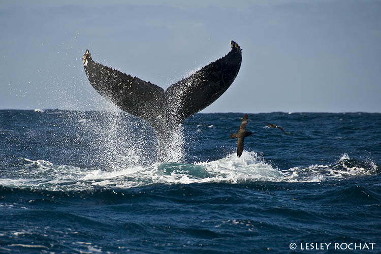 Lesley Rochat Photography - Southern Right Whale Tail