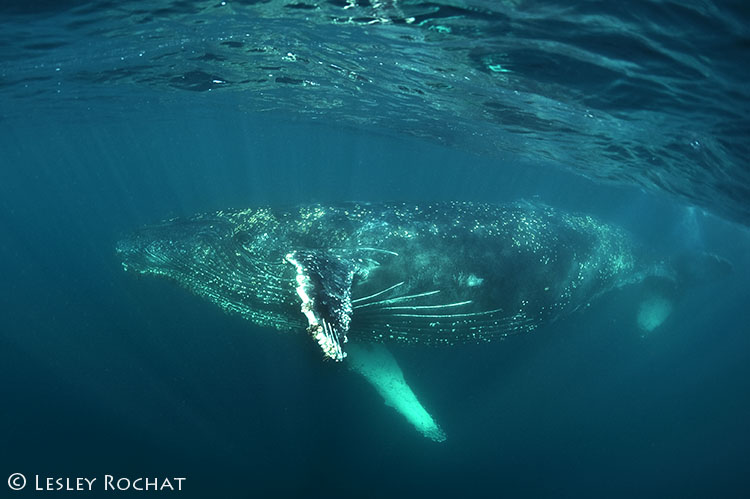 Lesley Rochat Photography - Whale