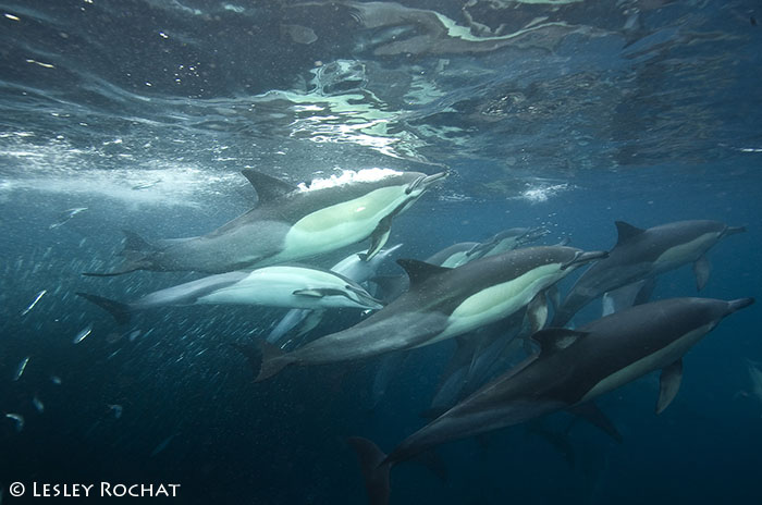 Lesley Rochat Photography - Dolphins