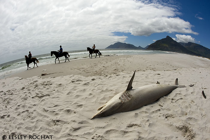 Lesley Rochat Photography - beached shark