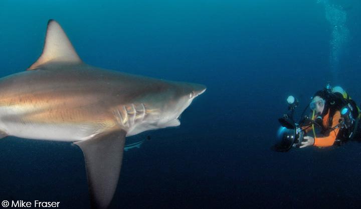 Lesley Rochat fimling blacktip sharks