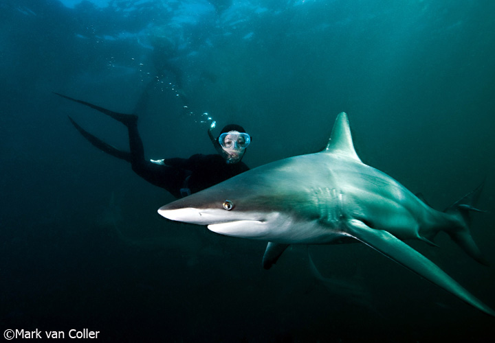 Lesley Rochat with blacktip sharks