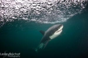 Lesley Rochat Photography - Fish Hoek Shark Attack