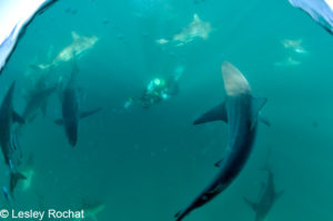 Michael Aw surrounded by blacktips.