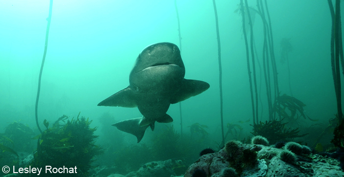 Lesley Rochat Photography - Seven Gill Sharks