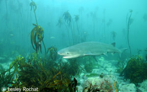Lesley Rochat Photography - 7 gill shark