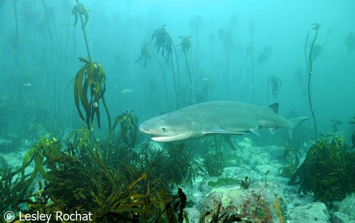 Lesley Rochat Photography - 7 gill shark