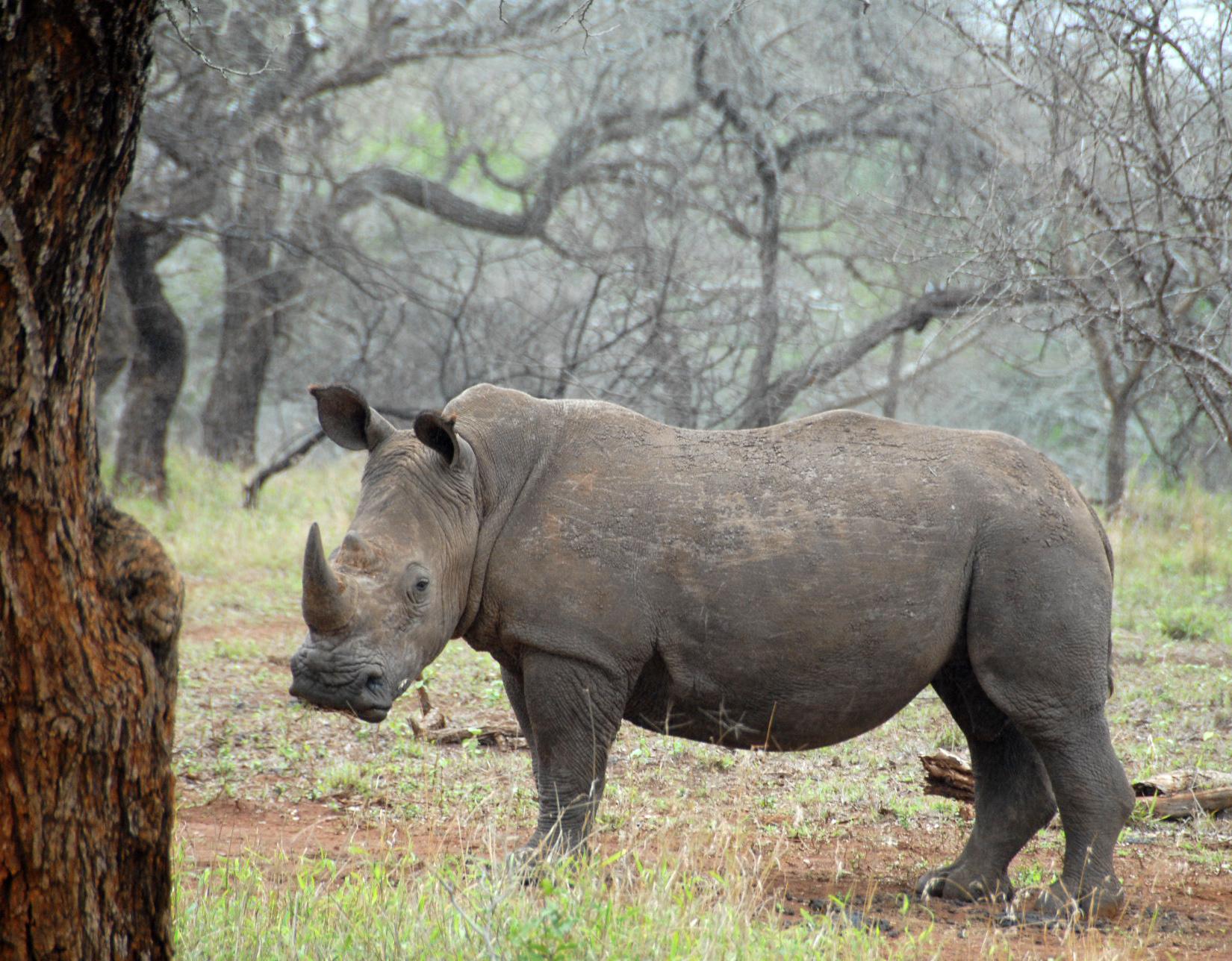 Rhinos on the heels of Tigers
