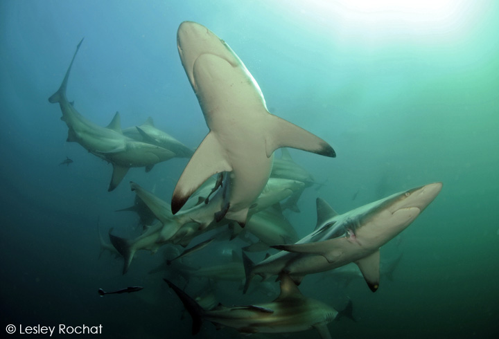 Diving with Blacktip Sharks