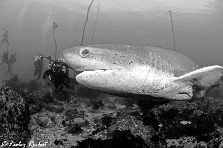 Lesley Rochat Photography - Sevengill Sharks Need Protection