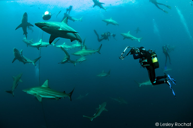 Lesley Rochat Photography - Swimming with Sharks