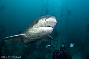 Lesley Rochat Photography - broadnose sevengill sharks in False Bay
