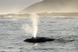 Lesley Rochat Photography - Southern Right Whale
