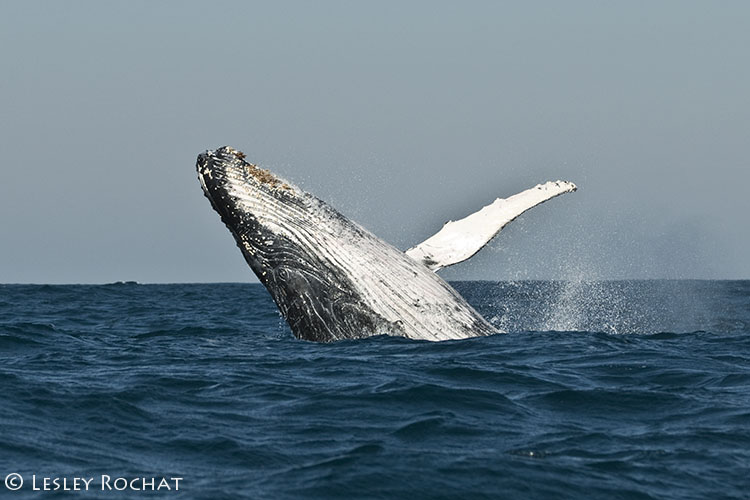 Lesley Rochat Photography - Southern Right Whale Breach