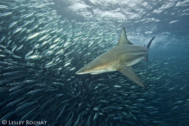 Lesley Rochat Photography - Shark Sardine Run