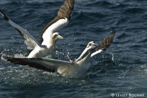 Lesley Rochat Photography - Marine birds