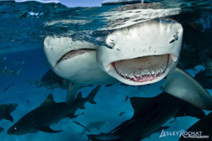 Lesley Rochat Photography - Sharks