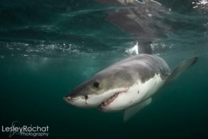 Lesley Rochat Photography - Great White Shark
