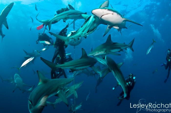Lesley Rochat Photography - Shark Bites