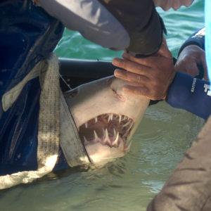 Releasing Sharks