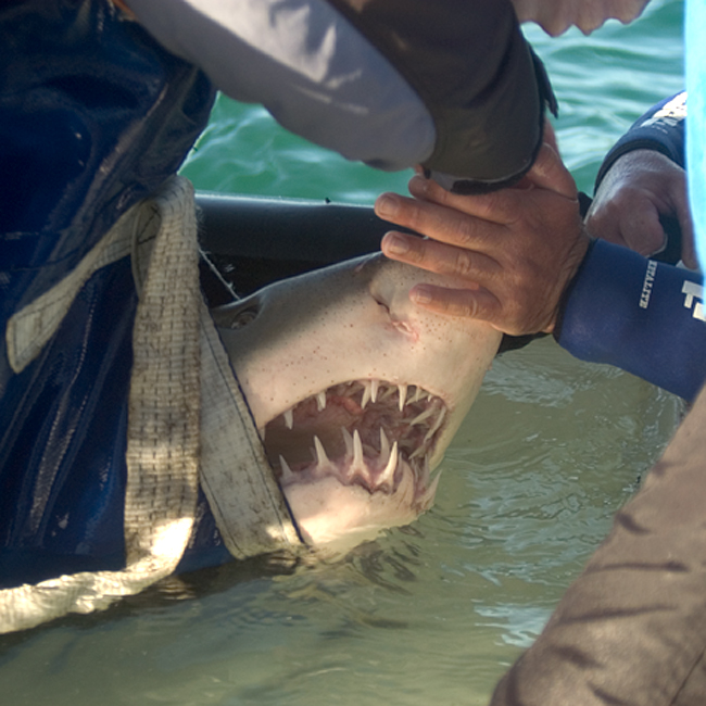 Behind the Scenes: Releasing Sharks
