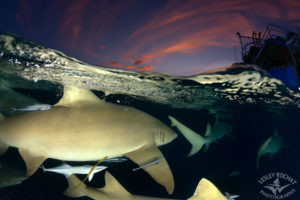 Lemon sharks at night